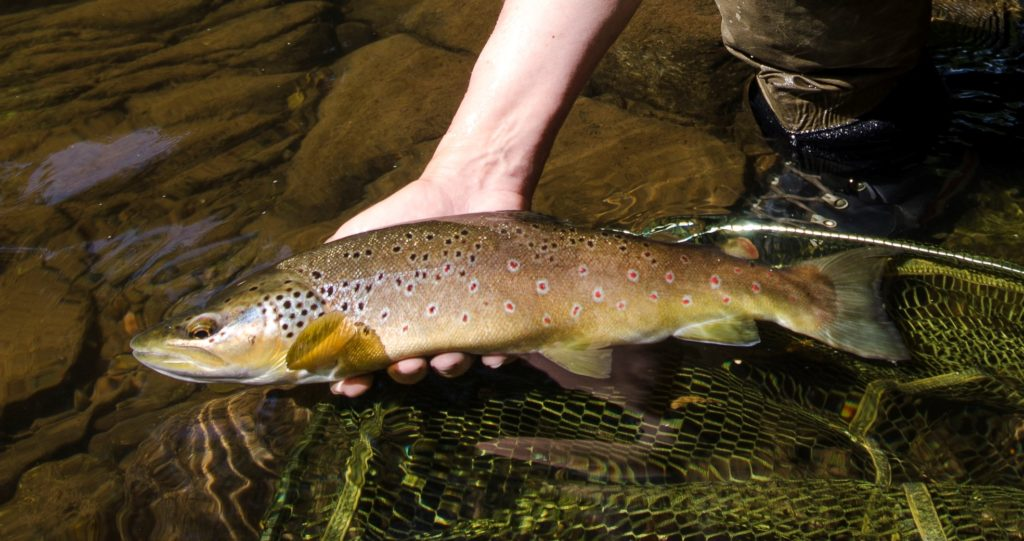 A trout from an Usk tributatry