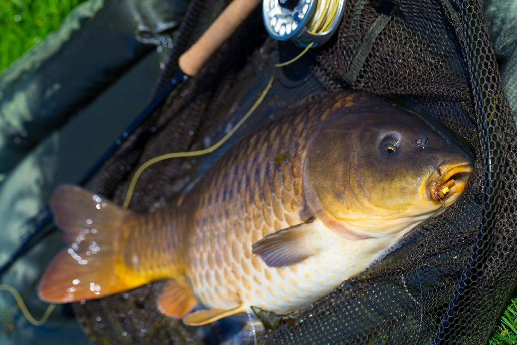Carp fly fishing Wales