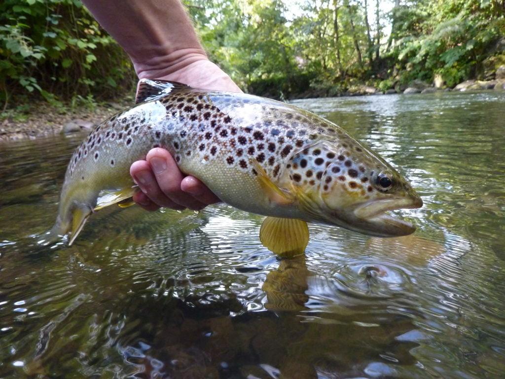 Cwmbran trout Afon llwyd