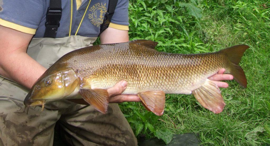 River Wye barbel