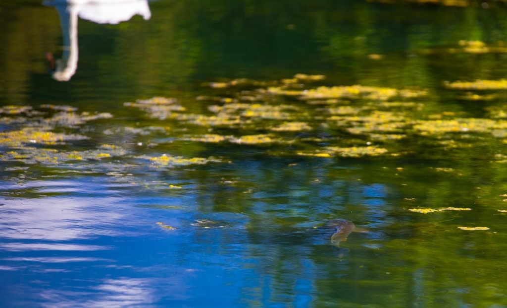 fly fishing for carp in a weedy lake