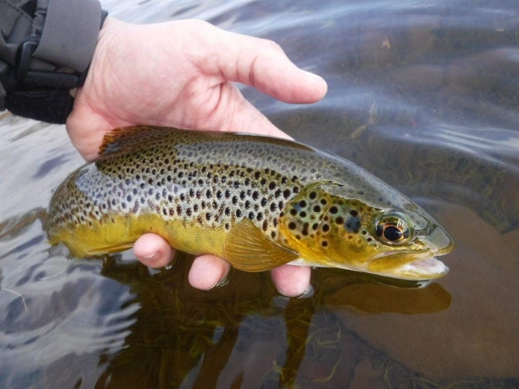cray reservoir wild brown trout wales