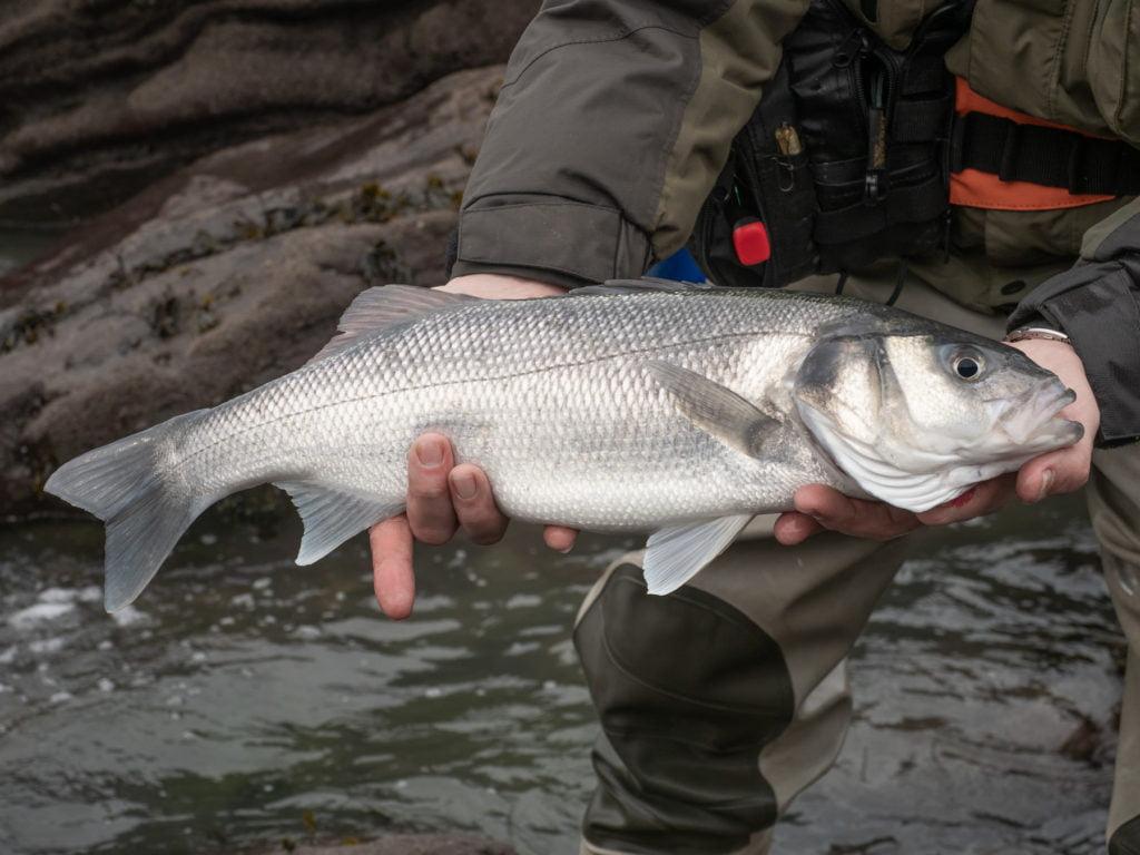 sea bass fishing west wales