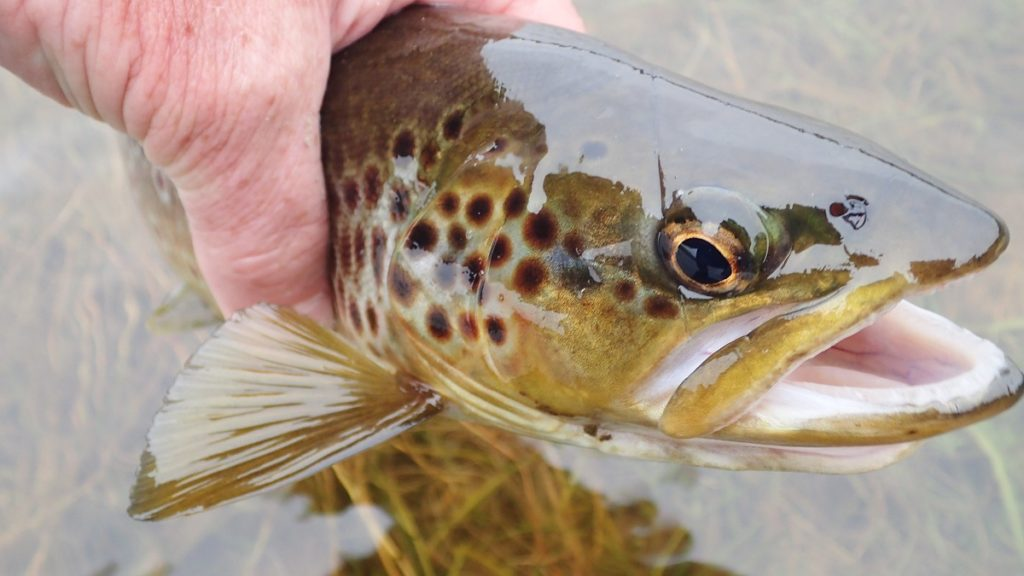wild welsh trout from the elan valley