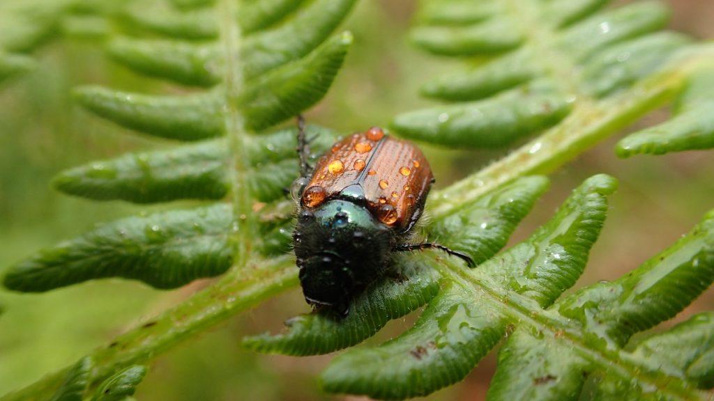 Coch-y-Bonddu beetle