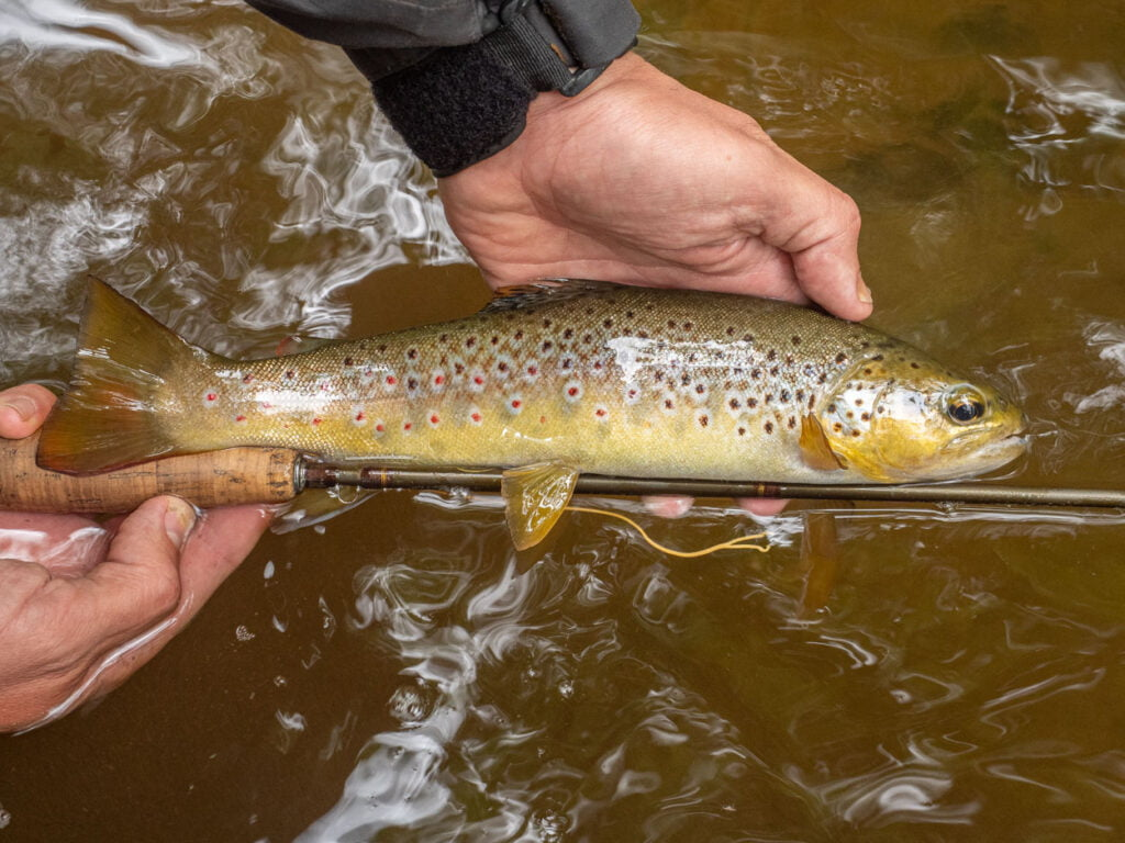 Wild brown trout Wales