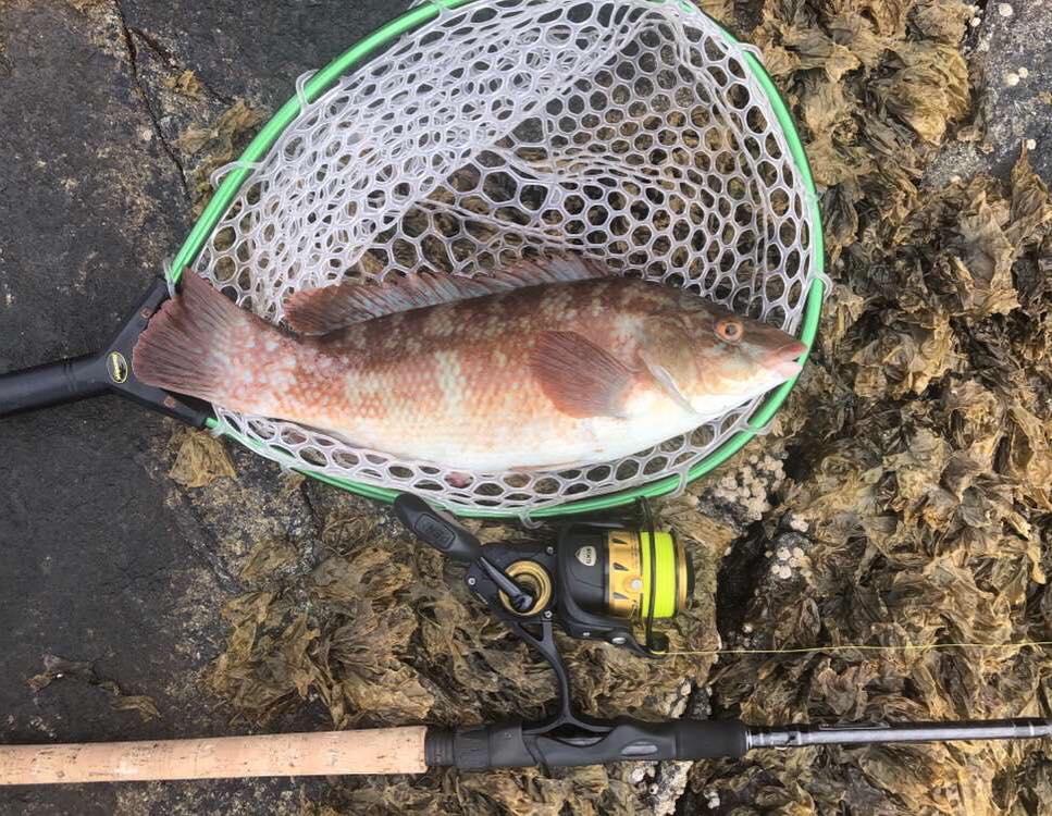 wrasse fishing wales