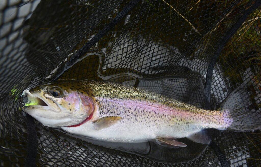 trout fishing llyn gwyn