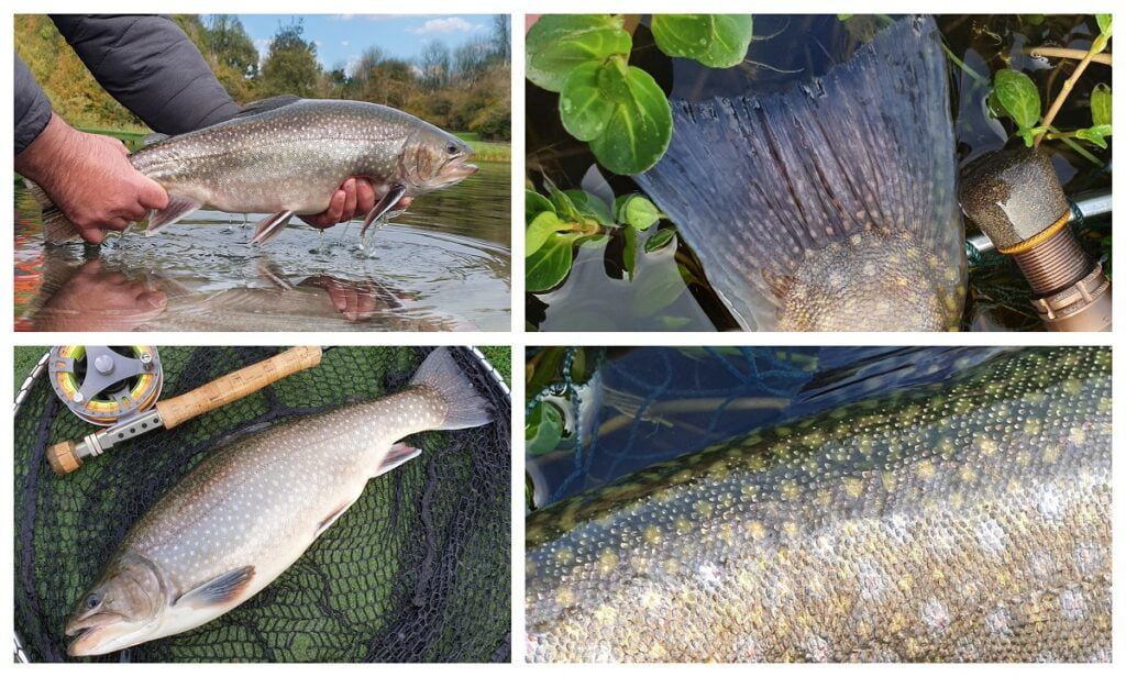 Spartic trout fishing in Wales