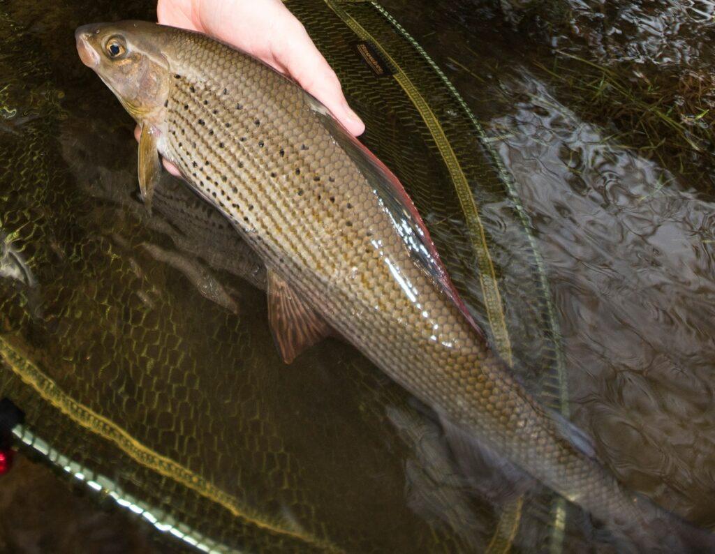 River Irfon grayling