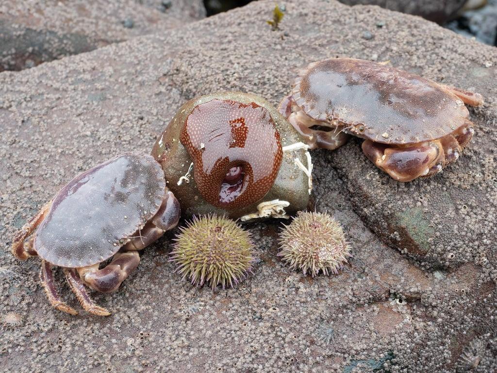 edible peeler crabs