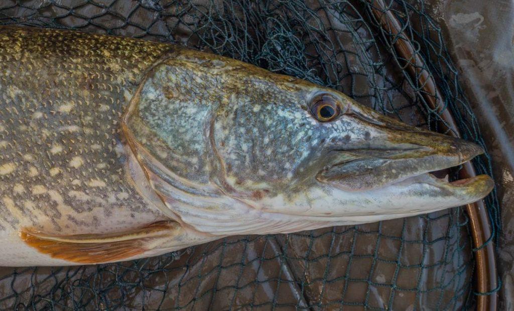 llangorse lake pike fishing
